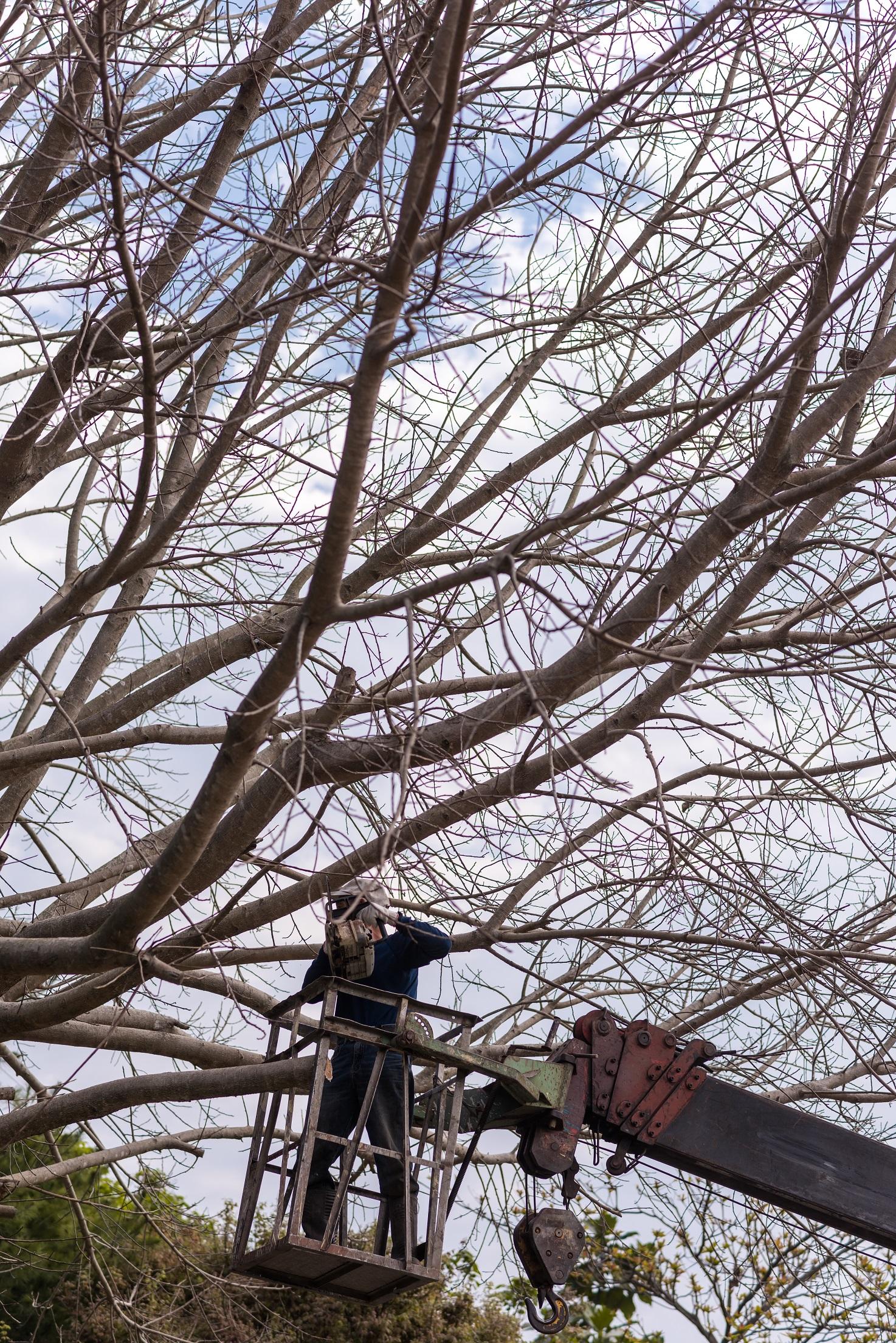 為菩提樹修枝