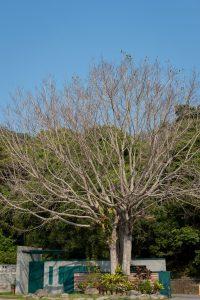四十幾歲的菩提樹